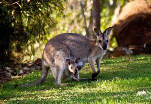 O canguru como referência ao termo geração canguru